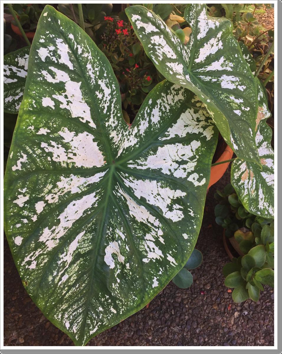 Big leaf plant